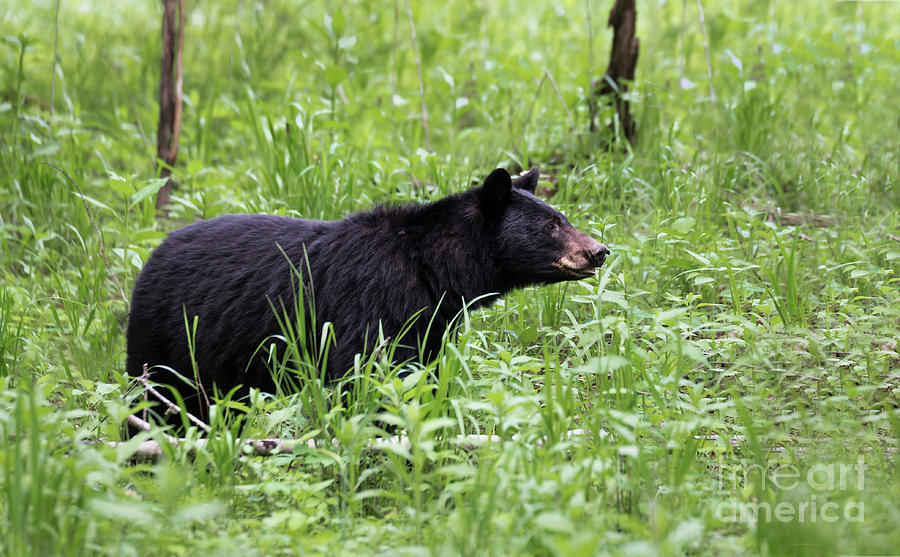 Black Bear in the Woods by Andrea Silies