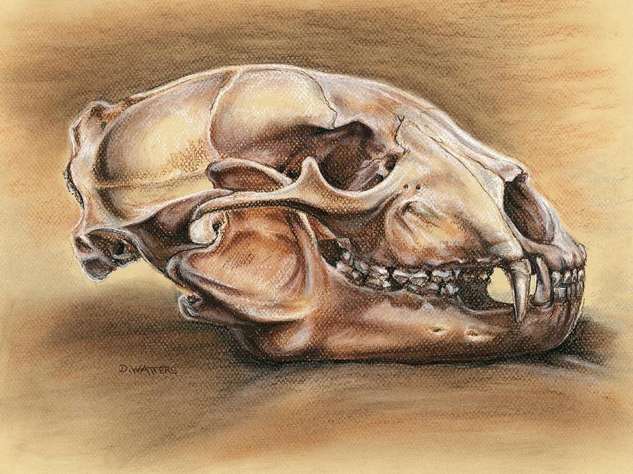 Bear Skull Drawing Black Bear Skull Drawi...