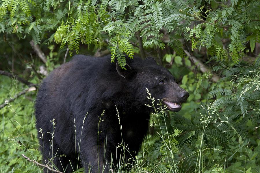 Black Bear Photograph - Black Bear by Tina B Hamilton