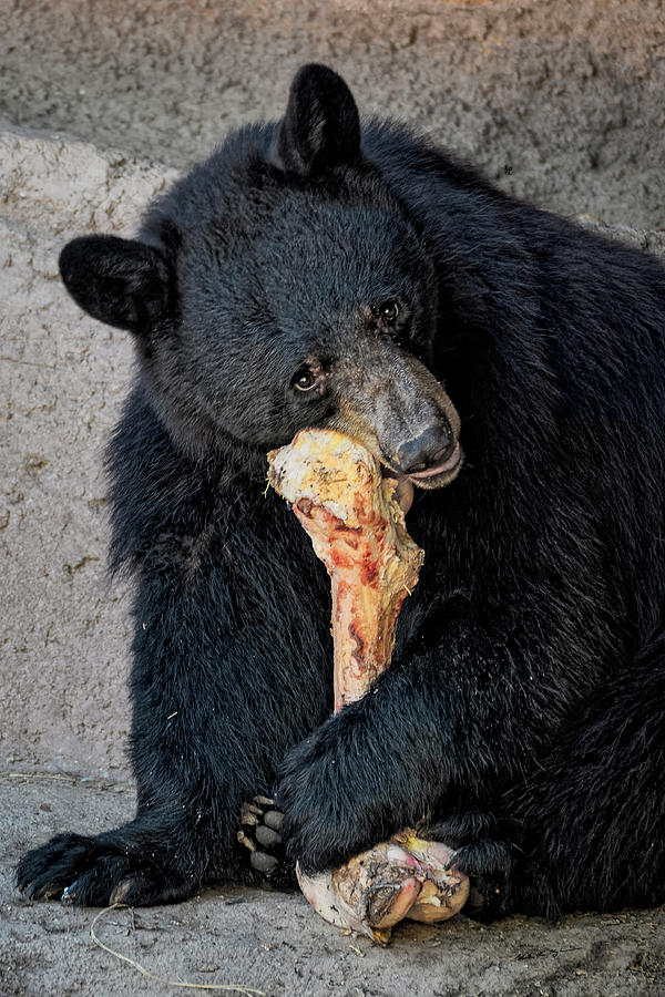 Black Bear V1827 Photograph