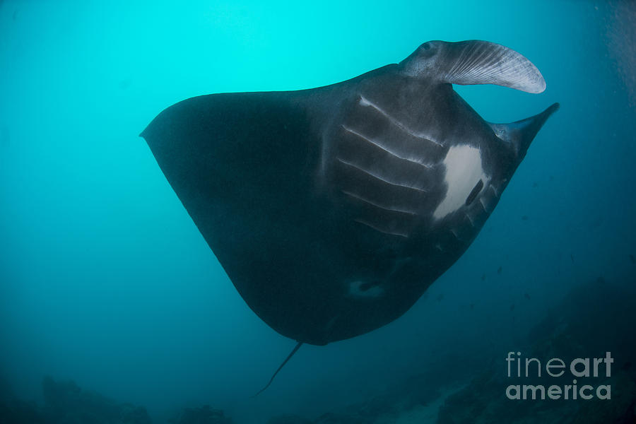 Black-bellied Manta Ray Taking Off Photograph