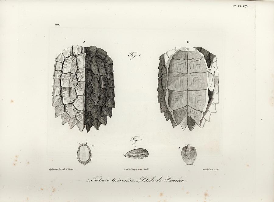 Black-Breasted Leaf Turtle by J B Bory de Saint Vincent