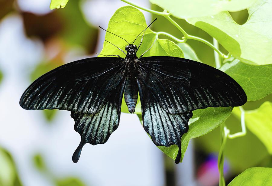 Sưu tập Bộ cánh vẩy 2 - Page 61 Black-butterfly-papilio-ascalaphus-cristina-stefan
