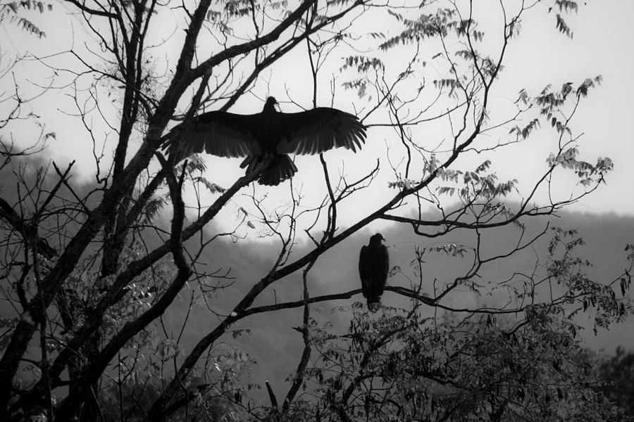 Black Buzzards Sunning Photograph