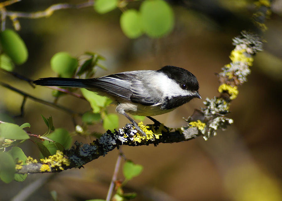 Birds Photograph - Black-Capped Chickadee by Ben Upham III