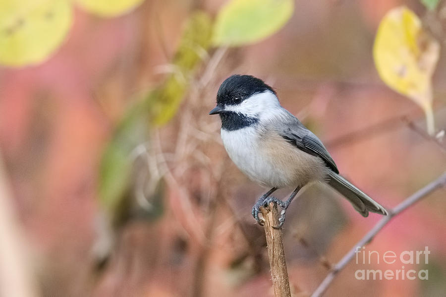 Black-Capped Chickadee by Jean A Chang