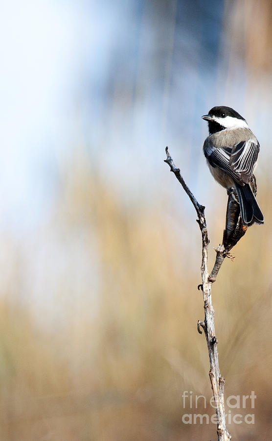 Black-capped Chickadee Photograph - Black-capped Chickadee by Shevin Childers