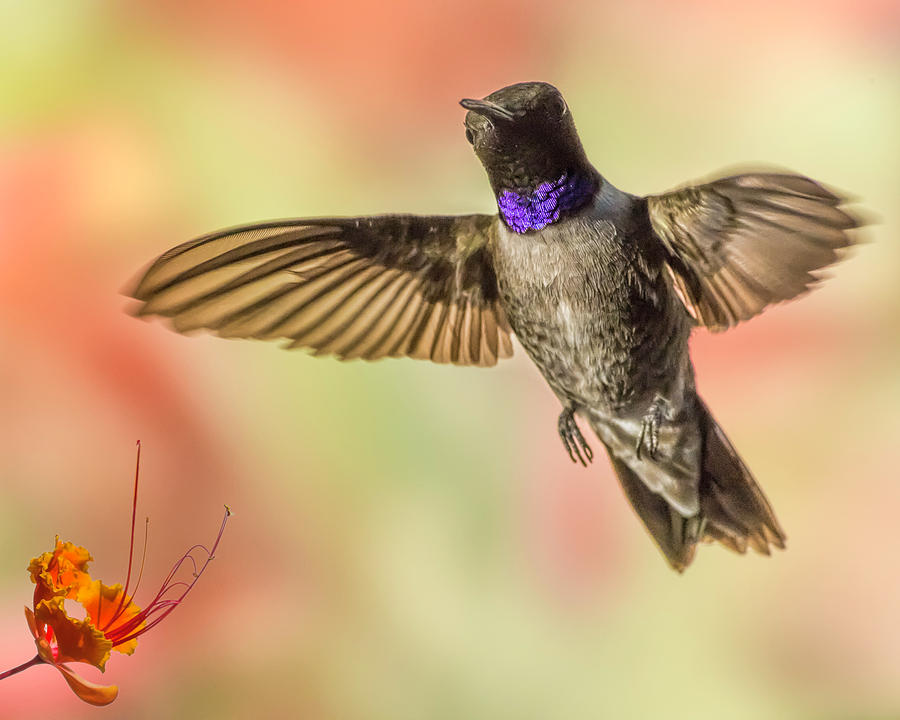 Black-chinned Hummingbird Photograph - Black-chinned Hummingbird by Mike Herdering
