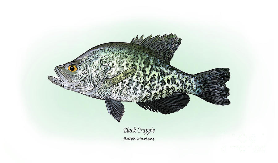 Crappie Drawing - Black Crappie by Ralph Martens