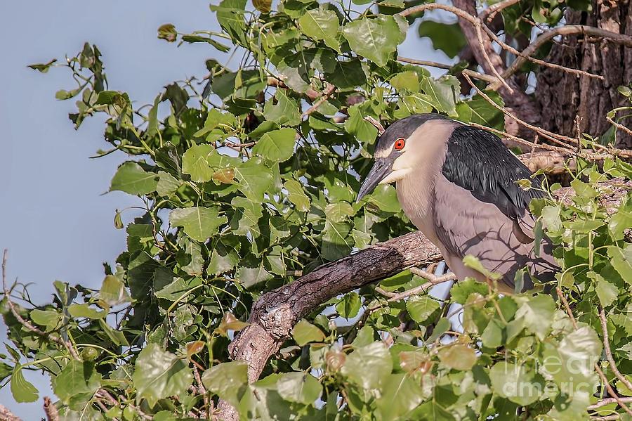 Black Crown Night Heron In Tree Photograph