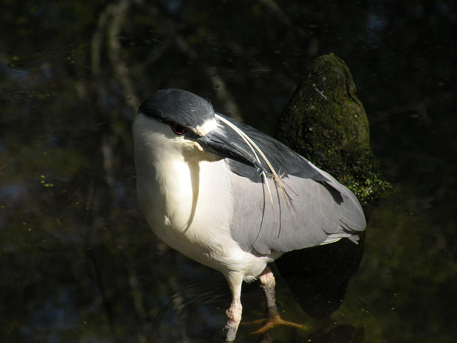 Bird Photograph - Black Crowned Heron by Gregory Letts