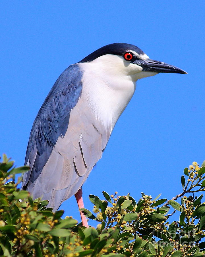 Animals Photograph - Black Crowned Night Heron Atop Tree by Wingsdomain Art and Photography
