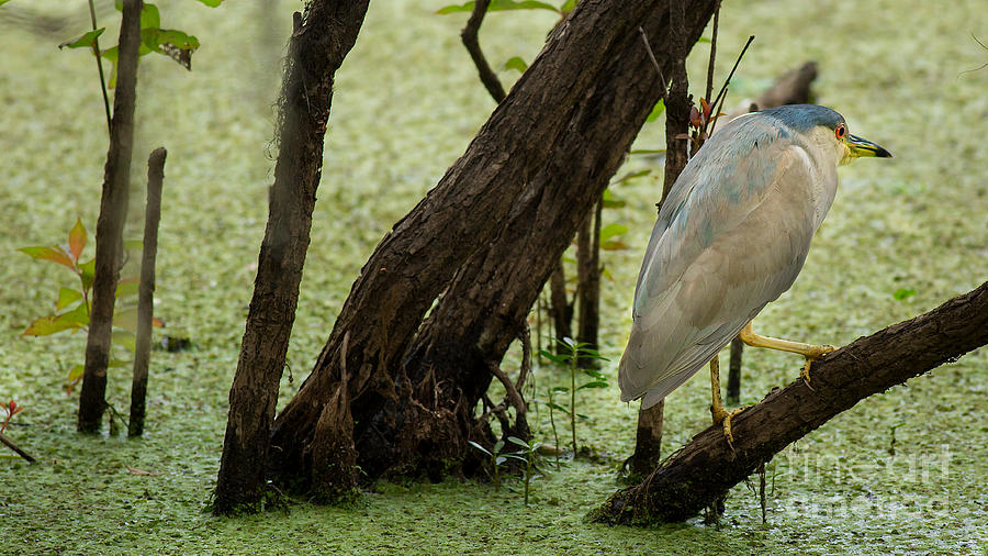 Black-Crowned Night-Heron by Brad Marzolf Photography