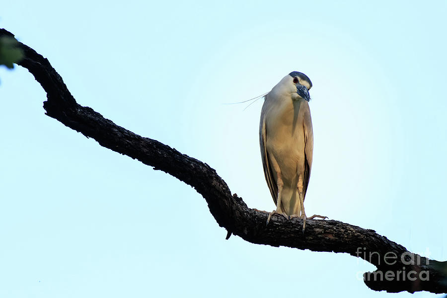 Black Crowned Night Heron mimics Parrot by Richard Smith