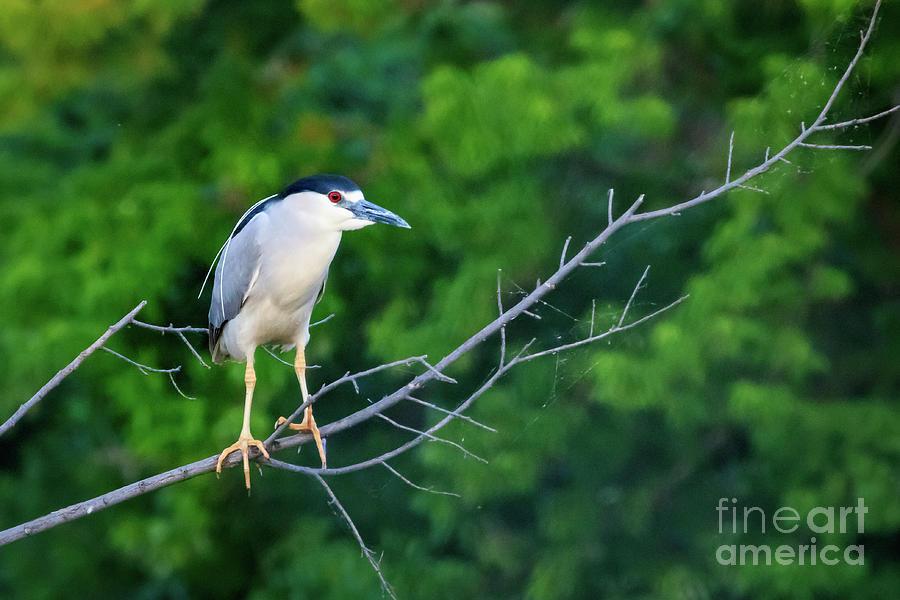 Black Crowned Night Heron Photograph