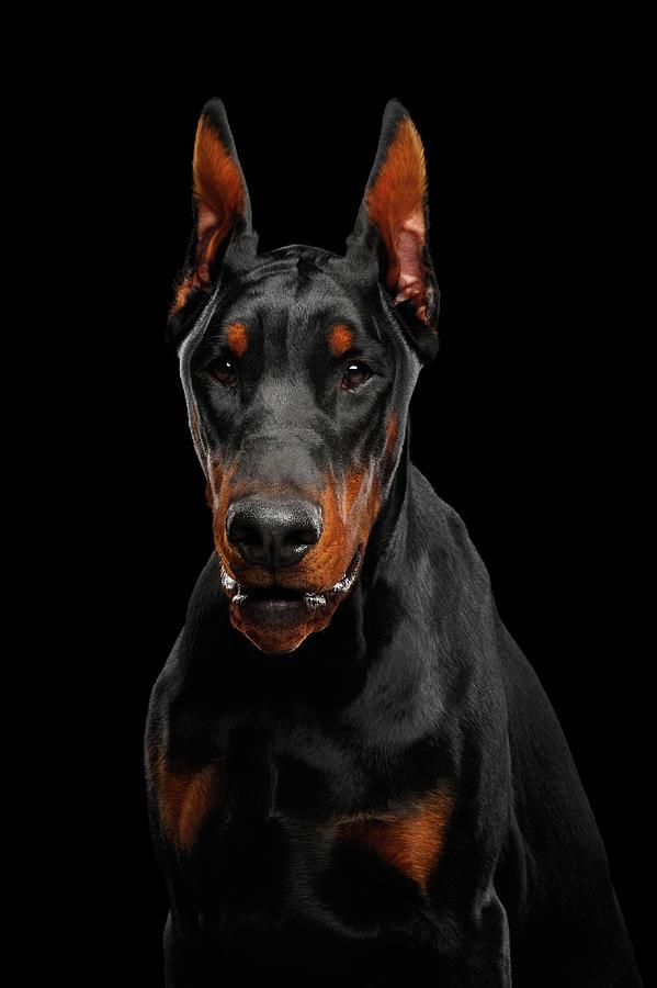 Black Photograph - Black Doberman by Sergey Taran