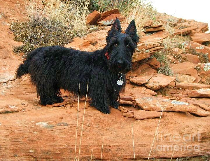 Scottish Terrier Photograph - Black Dog Red Rock by Michele Penner