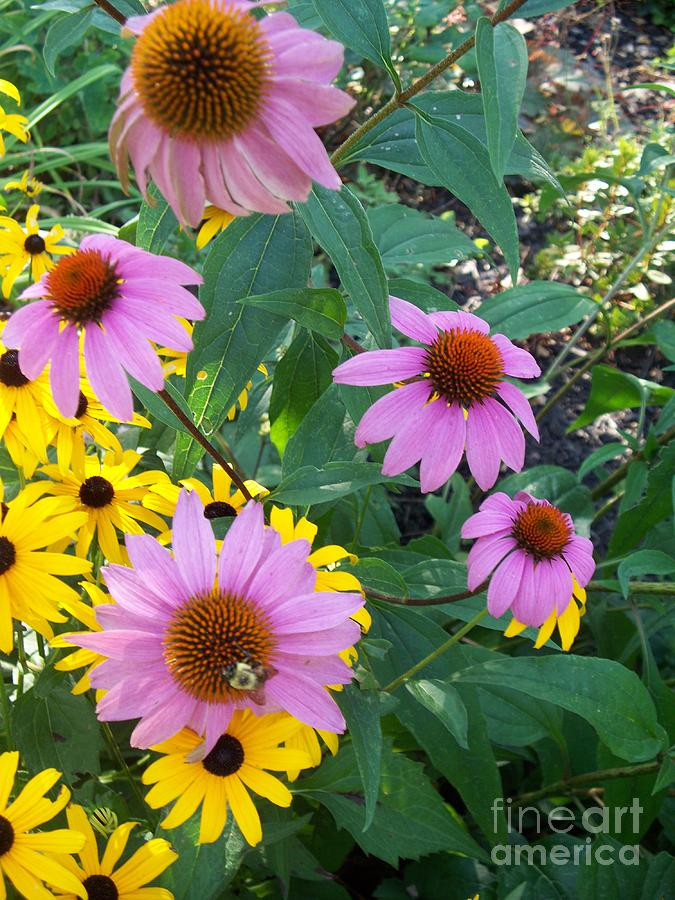 Echinacea Painting - Black Eye Susans And Echinacea by Eric  Schiabor