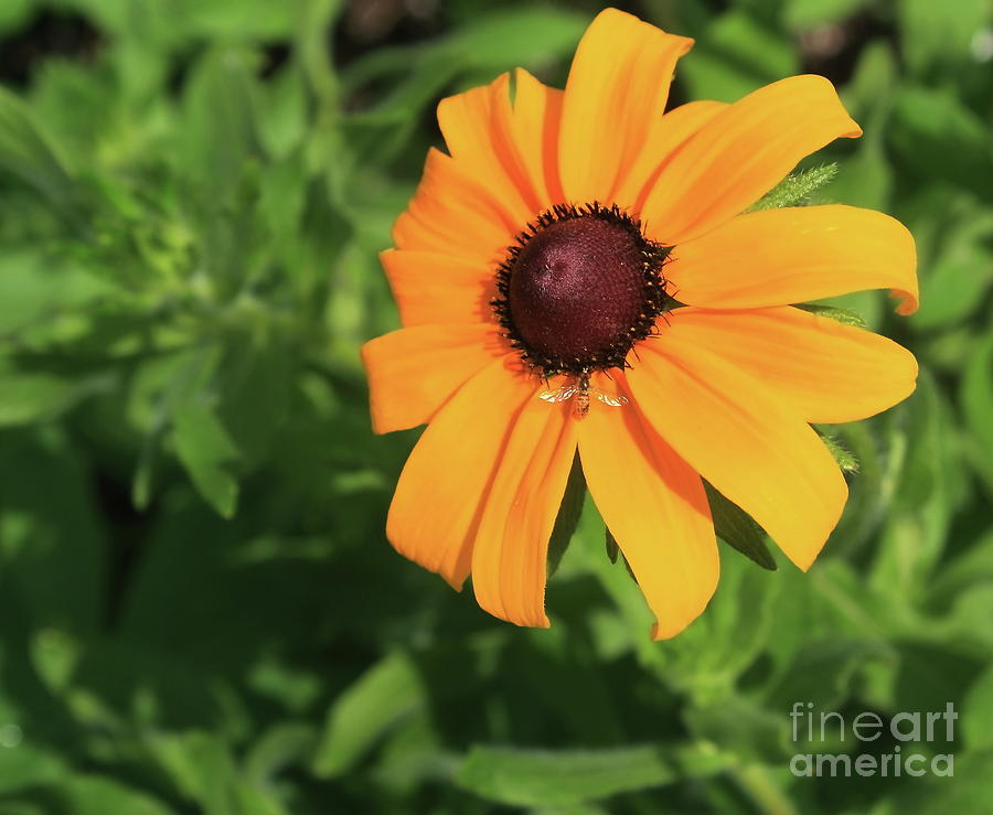 Plant Photograph - Black Eyed Susan 2 by Marjorie Imbeau