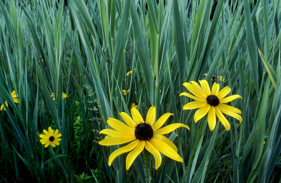Black eyed susan and tall grass photograph by tony ramos flower photograph black eyed susan and tall grass by tony ramos mightylinksfo