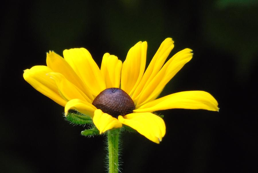 Black-eyed Susan by Barbara St Jean