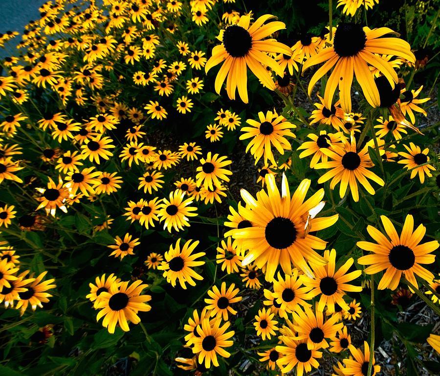 Flowers Photograph - Black-eyed Susan Flowers by Bill Jonscher
