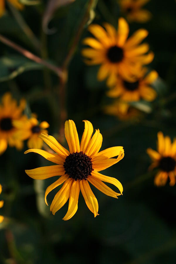 Black-eyed Susan Photograph - Black-eyed Susan Flowers Looking Suspended in Air  by Bonnie Boden