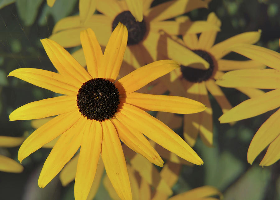 Flower Photograph - Black Eyed Susan by JAMART Photography