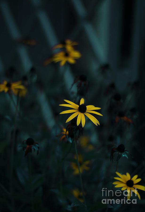 Black Eyed Susan by Jasna Buncic
