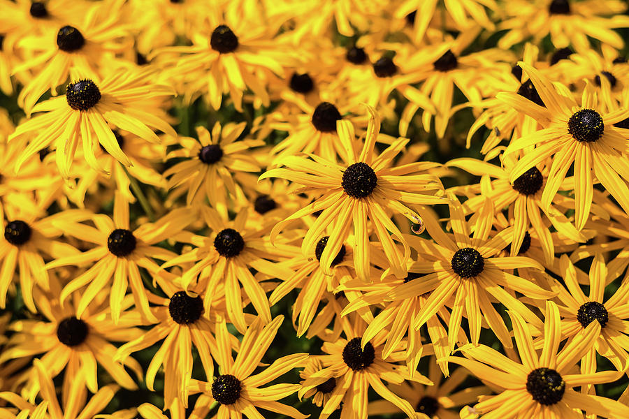 Black-eyed Susan Riot by Robert Mitchell