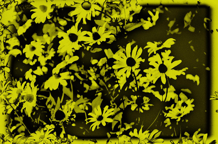 Flowers Photograph - Black Eyed Susans by Bill Cannon