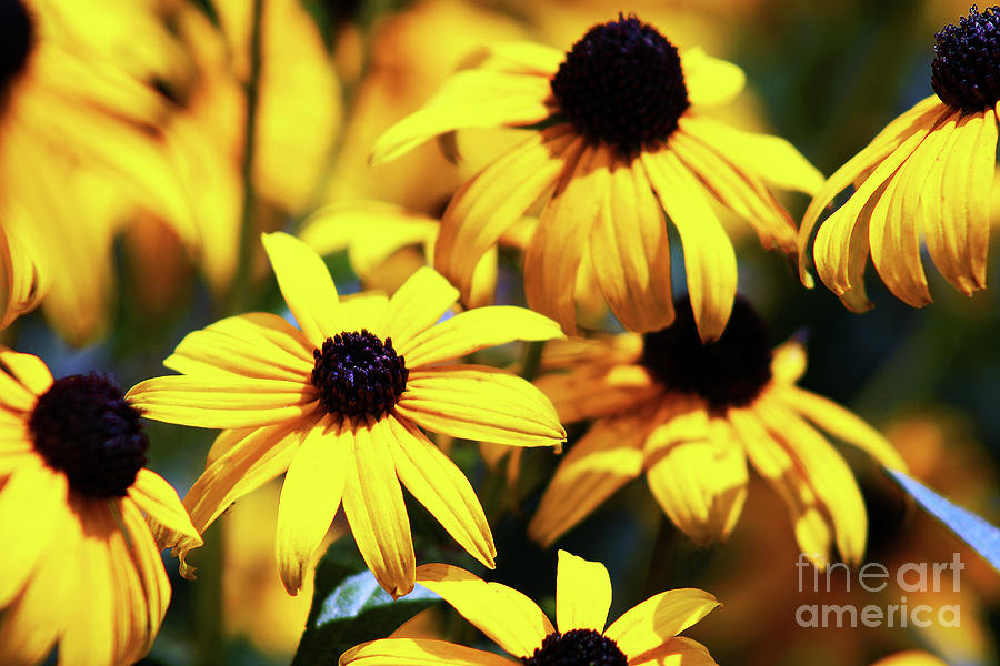 Black Eyed Susans In The Morning Photograph