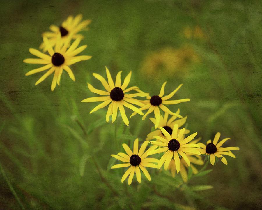 Flora Photograph - Black Eyed Susans by Joy Schmitz
