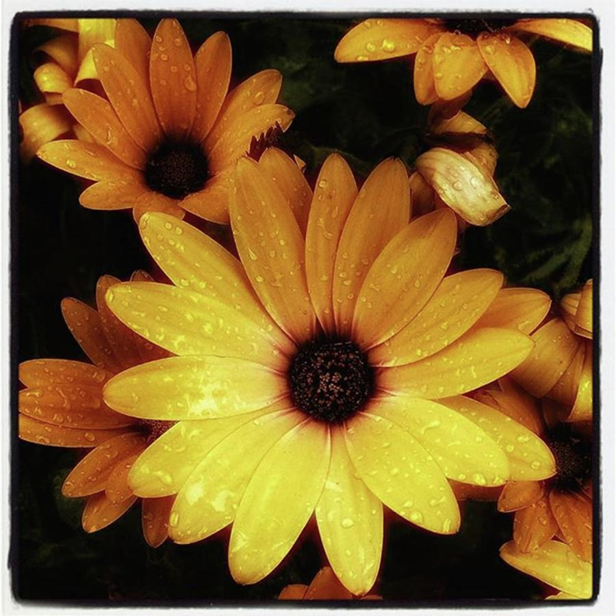Flowers Photograph - Black Eyed Susans. Looks Like Theyre by Mr Photojimsf