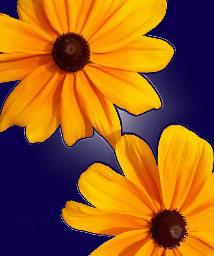 Flower Photograph - Black-eyed Susans On Blue by Tara Hutton