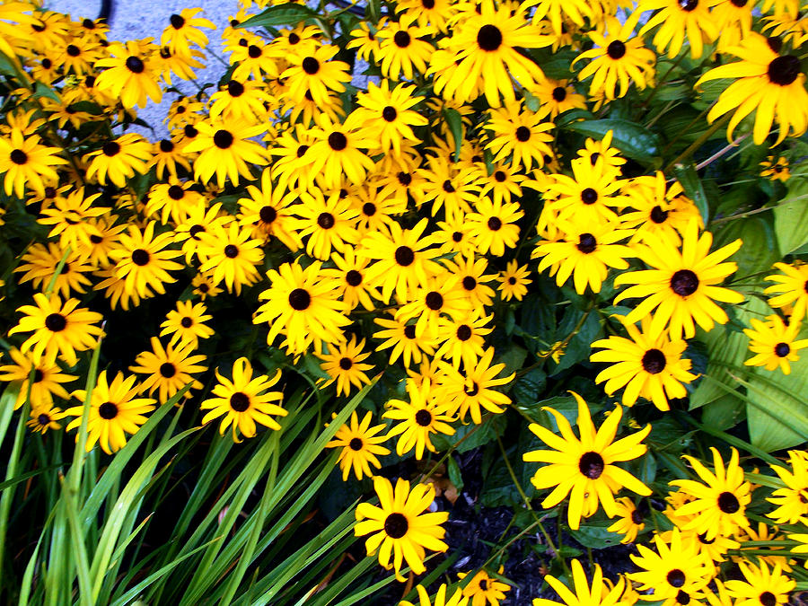 Black eyed susans yellow flowers photograph by m sylvia chaume black eyed susan photograph black eyed susans yellow flowers by m sylvia chaume mightylinksfo