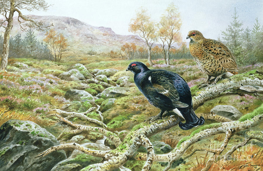 Game Painting - Black Grouse On A Moor by Carl Donner