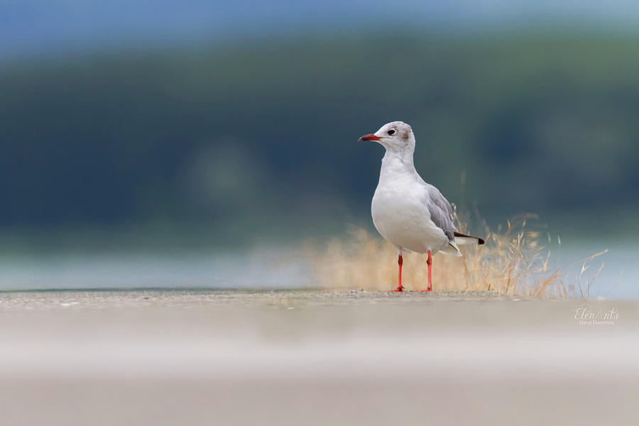 Black-headed gull, chroicocephalus ridibundus, on the ground by Elenarts - Elena Duvernay photo