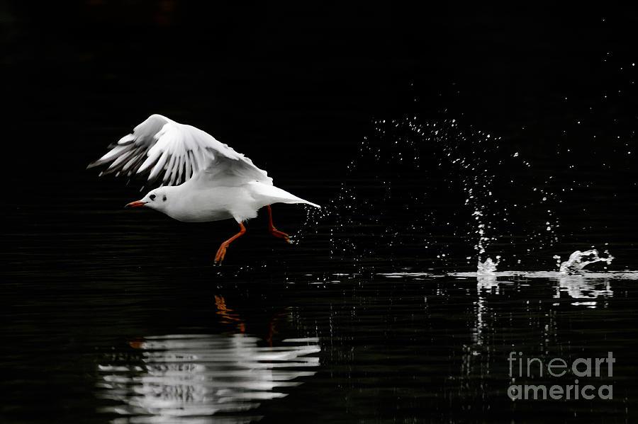 Chroicocephalus Ridibundus Photograph - Black-headed Gull - Low Key by Paul Farnfield
