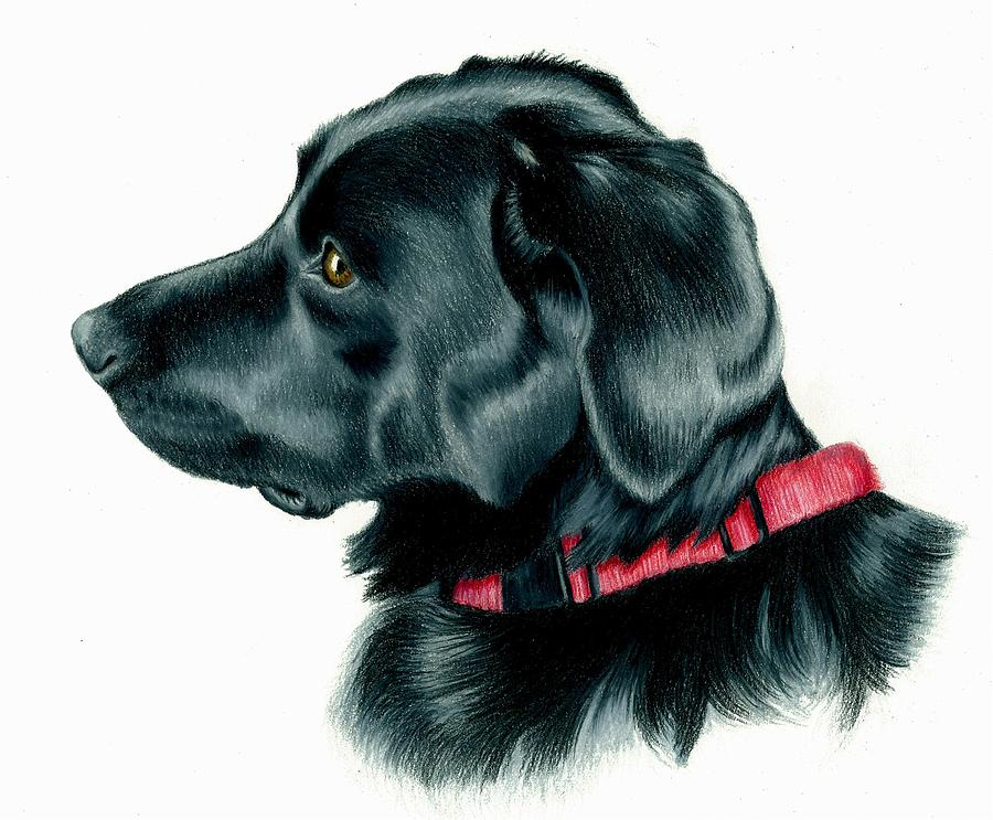 Black Lab With Red Collar Drawing by Heather Mitchell