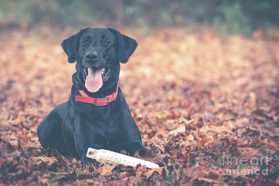 Black Labrador In The Fall Leaves Photograph