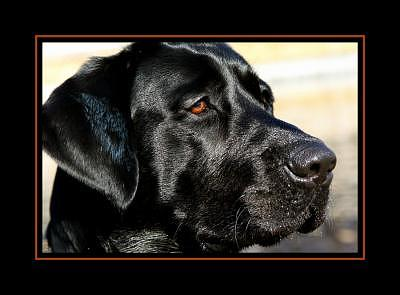 Dog Photograph - Black Labrador by Kelly  Kane