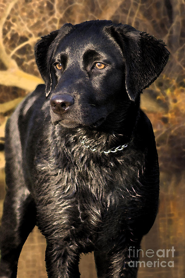 Labrador Retriever Photograph - Black Labrador Retriever Dog by Cathy  Beharriell