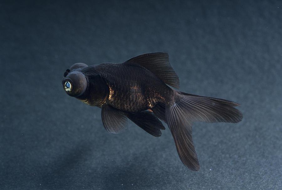 Carassius Auratus Photograph - Black Moor Ornamental Fish by David Aubrey