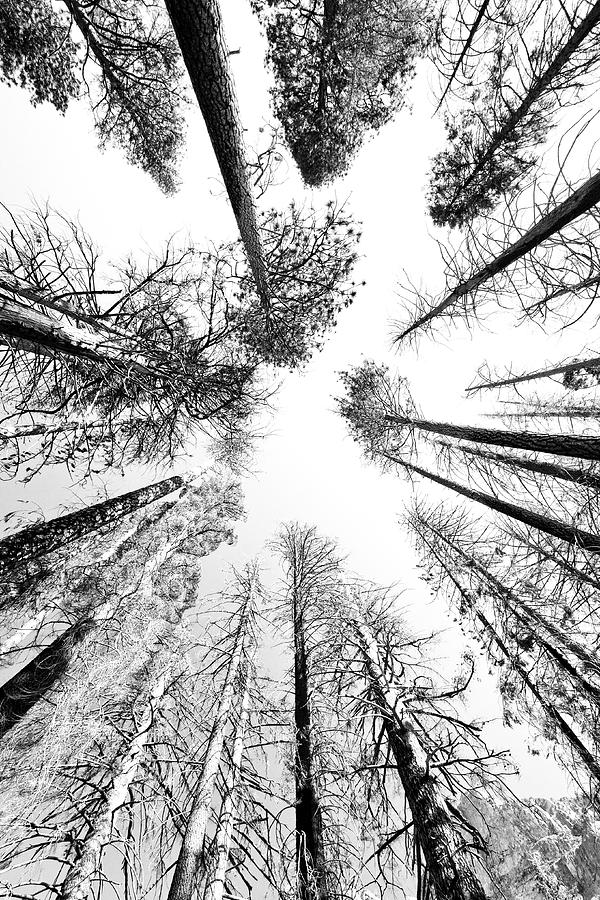 Sequoia National Park Photograph - Black N White Sky-trees by Rick Pham