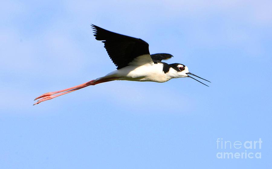 Bird Photograph - Black Necked Stilt by Dennis Hammer