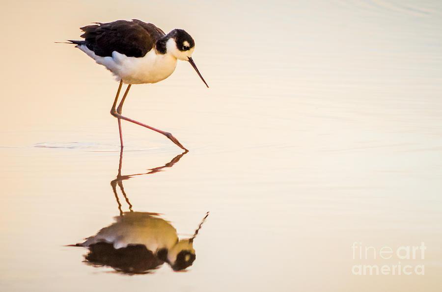 Bird Photograph - Black-necked Stilt by Emily Bristor