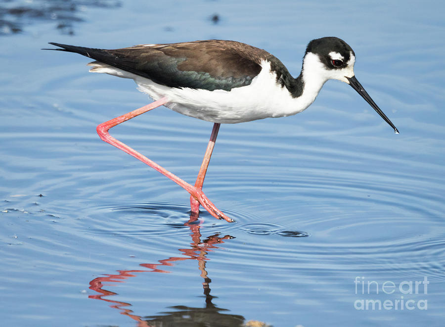 Canon Photograph - Black-necked Stilt Wading  by Ricky L Jones