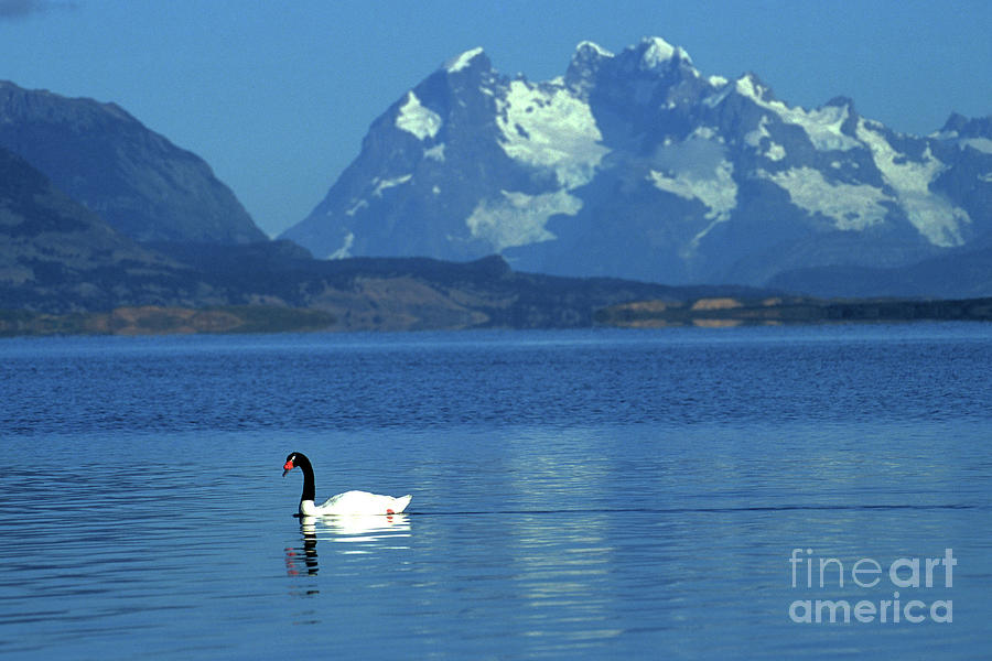 Chile Photograph - Black Necked Swan On Last Hope Sound Chile by James Brunker