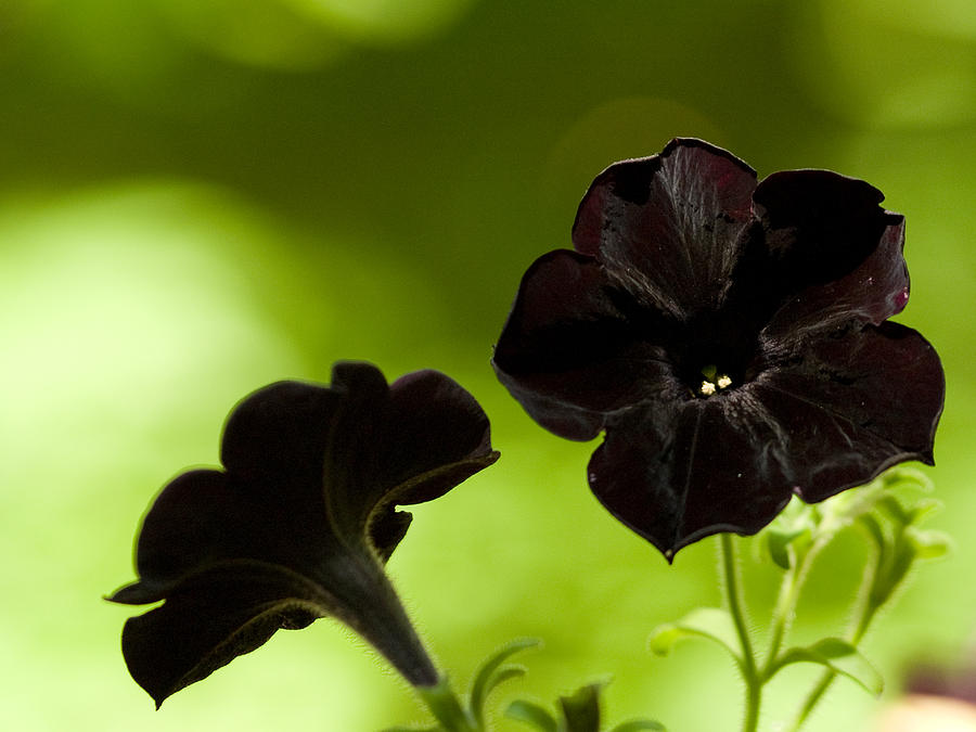 Black Petunias On A Brilliant Summer Day Photograph By Dorothy Lee